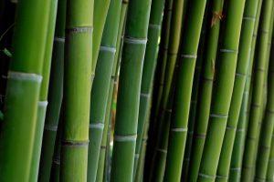 bambou_David_Roussel