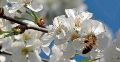 liste_des_plantes_attractives_pour_les_abeilles