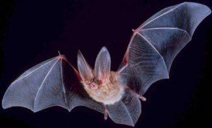 bat_ear