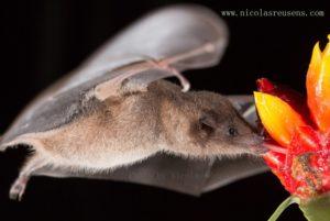 chauve-souris nectar